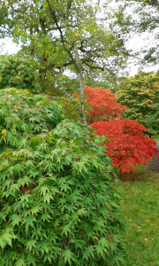 Acers just beginning to turn leaf at Westonbirt Arboretum, October 2014